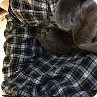 Adopt A Pet :: Murphy - Brooklyn, NY