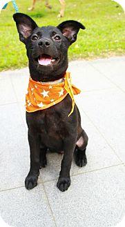 Labrador Retriever Mix Puppy for adoption in Castro Valley, California - Alona