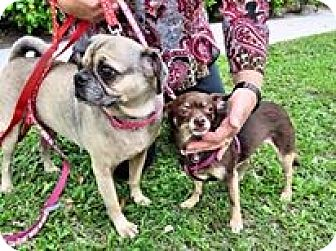 Chihuahua Dog for adoption in West Palm Beach, Florida - Catory/Baily