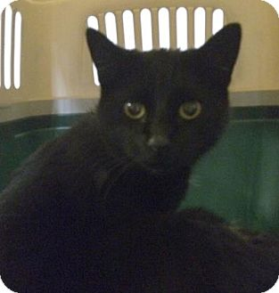 Domestic Shorthair Cat for adoption in Cleveland, Ohio - Tackie