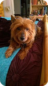 Yorkie, Yorkshire Terrier/Australian Terrier Mix Dog for adoption in Los Angeles, California - OZZIE