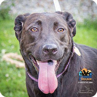 Labrador Retriever Mix Dog for adoption in Evansville, Indiana - Cashmere