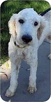 Poodle (Standard) Dog for adoption in Downey, California - Geoffrey