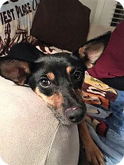 Rat Terrier/Manchester Terrier Mix Dog for adoption in Memphis, Tennessee - Squash
