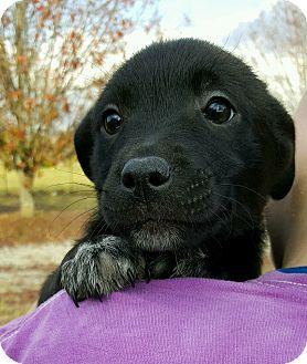 Labrador Retriever Mix Puppy for adoption in Glenburn, Maine - AXLE