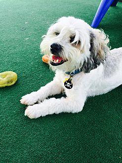 Lhasa Apso Mix Dog for adoption in Orange, California - Coco