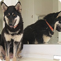 German Shepherd Dog/Siberian Husky Mix Dog for adoption in Alamogordo, New Mexico - Misty