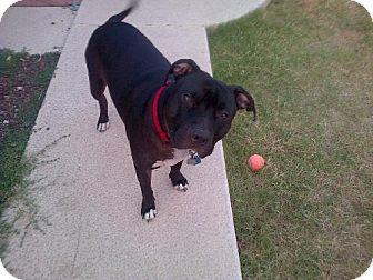 Pit Bull Terrier/English Bulldog Mix Dog for adoption in Phoenix, Arizona - Dozer