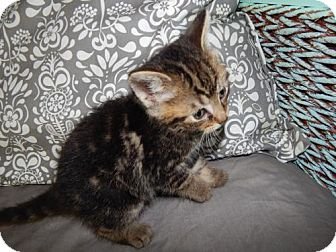 Domestic Mediumhair Kitten for adoption in Northville, Michigan - zQ16 Quinlan - ADOPTED