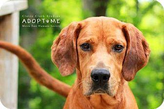 Coonhound Mix Dog for adoption in Edwardsville, Illinois - Archer