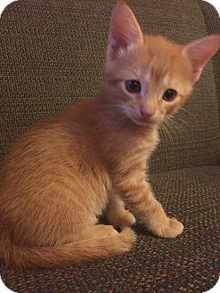 Domestic Shorthair Kitten for adoption in Atlanta, Georgia - Ernie