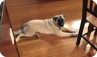 Anatolian Shepherd Mix Puppy for adoption in Bedford Hills, New York - Zoe