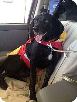 Labrador Retriever/Plott Hound Mix Dog for adoption in Staunton, Virginia - Zorrie