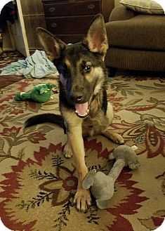 German Shepherd Dog Puppy for adoption in Los Angeles, California - HUNDLEY