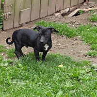 Chihuahua Mix Dog for adoption in Ashville, Ohio - Donny