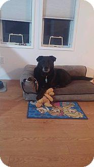 Labrador Retriever Mix Dog for adoption in Qualicum Beach, British Columbia - Briar