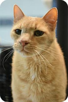 American Shorthair Cat for adoption in Aiken, South Carolina - Buddy