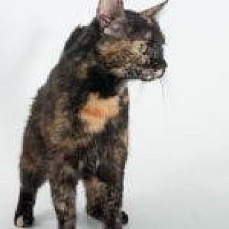 Domestic Shorthair/Domestic Shorthair Mix Cat for adoption in Savannah, Georgia - Heavenly Hash