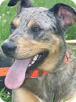 Australian Shepherd/Catahoula Leopard Dog Mix Dog for adoption in Sparta, Kentucky - Bonnie