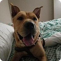 Shar Pei Mix Dog for adoption in Lorain, Ohio - Jazzy