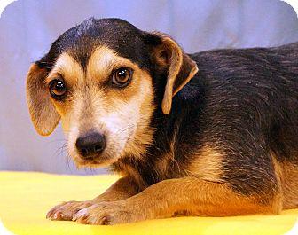 Dachshund/Schnauzer (Miniature) Mix Dog for adoption in Maynardville, Tennessee - Shenia