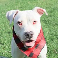 American Bulldog Mix Dog for adoption in Anderson, Indiana - Riplee