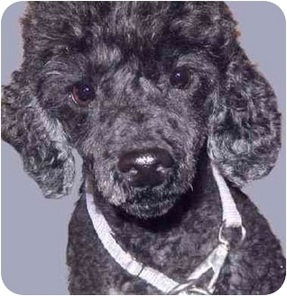Poodle (Miniature) Mix Dog for adoption in Grass Valley, California - Trucker
