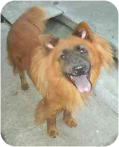 Spitz (Unknown Type, Small)/Chow Chow Mix Dog for adoption in Bunnell, Florida - Baxter