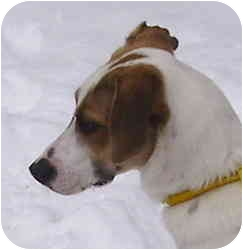 German Wirehaired Pointer/Brittany Mix Dog for adoption in Kansas City, Missouri - Courtesy List-Polly