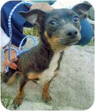 Miniature Pinscher Mix Puppy for adoption in Los Angeles, California - Waldo