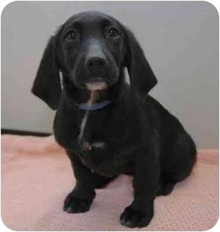 Spaniel (Unknown Type)/Labrador Retriever Mix Puppy for adoption in Westfield, New York - Lola