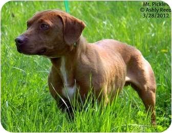 Dachshund Mix Dog for adoption in St. James, Missouri - Mr. Pickles