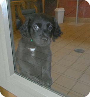 Labrador Retriever/Cocker Spaniel Mix Puppy for adoption in Jackson, Michigan - Nina