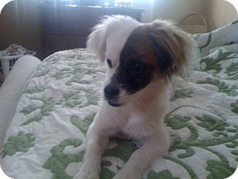 Papillon Mix Puppy for adoption in Homestead, Florida - Klaus