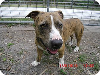 American Pit Bull Terrier/Basset Hound Mix Dog for adoption in Odessa, Florida - PICKLES