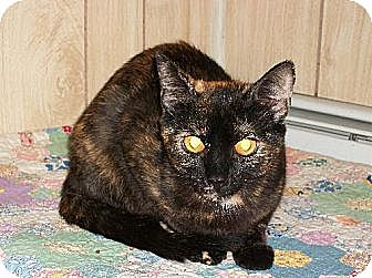 Domestic Shorthair Cat for adoption in Watsontown, Pennsylvania - Lisa
