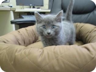 Domestic Shorthair Kitten for adoption in Lloydminster, Alberta - Timothy