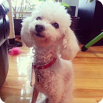 Poodle (Toy or Tea Cup) Dog for adoption in Pierrefonds, Quebec - Juliette