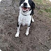 Adopt A Pet :: Bolt - Fort Riley, KS