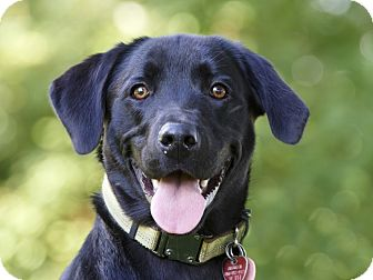 Labrador Retriever Mix Dog for adoption in Ile-Perrot, Quebec - Kaiden