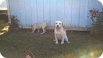 Shepherd (Unknown Type)/Labrador Retriever Mix Puppy for adoption in Danbury, Connecticut - Coco`