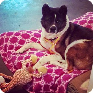 Akita Dog for adoption in Toms River, New Jersey - Koyo