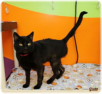Domestic Shorthair Cat for adoption in Welland, Ontario - Sully