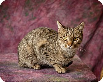 Domestic Shorthair Cat for adoption in Harrisonburg, Virginia - Betty Pancakes