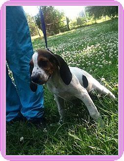 Treeing Walker Coonhound Dog for adoption in Harrisonburg, Virginia - Lauretta (POM-JG)