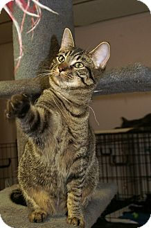 American Shorthair Cat for adoption in Englewood, Florida - Jasmine