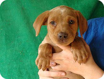 Labrador Retriever/Golden Retriever Mix Puppy for adoption in Oviedo, Florida - Alexis