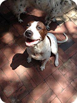 Pointer Mix Dog for adoption in Von Ormy, Texas - Zoey(PC)