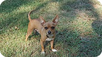 Chihuahua Mix Dog for adoption in Albany, New York - Ernie