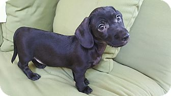 Dachshund/Poodle (Miniature) Mix Puppy for adoption in Charlotte, North Carolina - Cooper